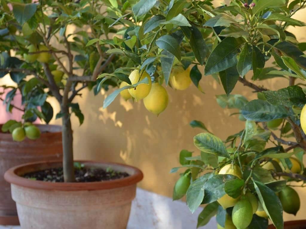 I limoni di Sommavalle